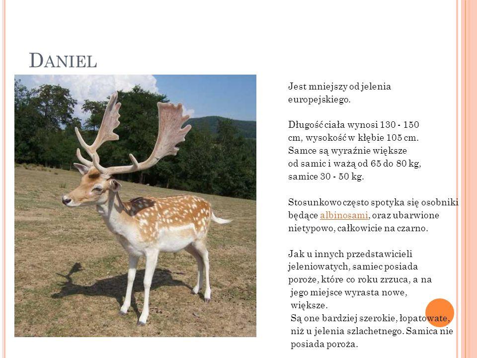 D ANIEL Jest mniejszy od jelenia europejskiego. Długość ciała wynosi 130 - 150 cm, wysokość w kłębie 105 cm. Samce są wyraźnie większe od samic i ważą