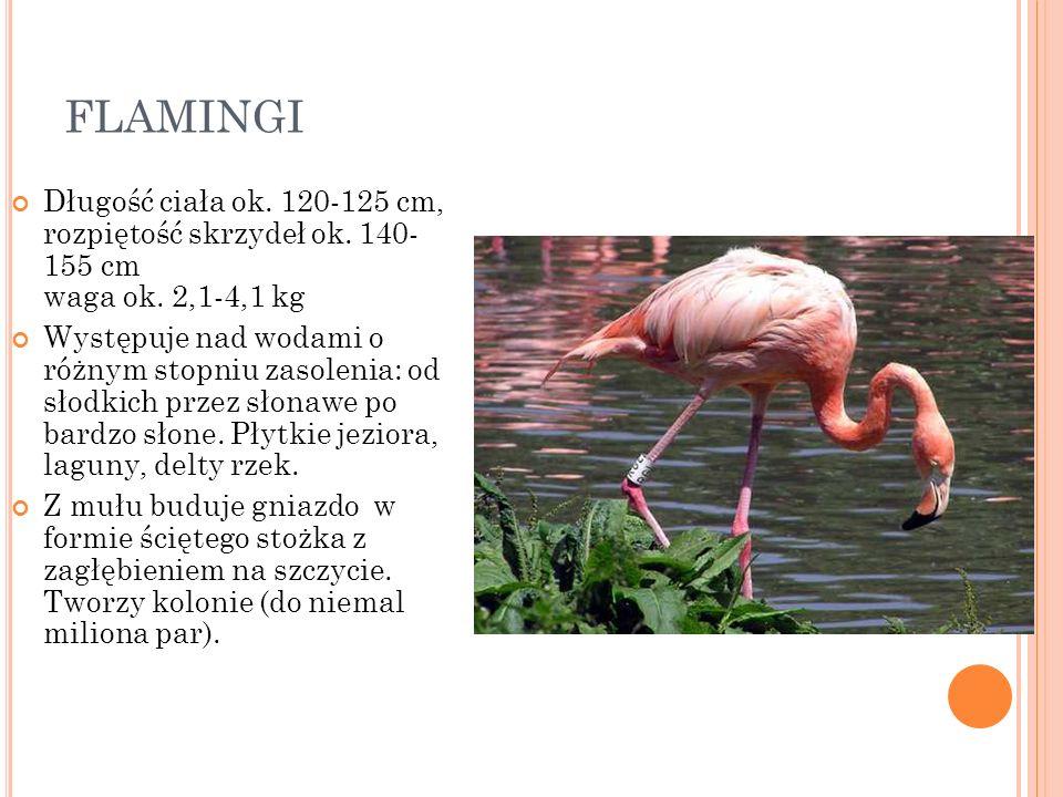 FLAMINGI Długość ciała ok. 120-125 cm, rozpiętość skrzydeł ok. 140- 155 cm waga ok. 2,1-4,1 kg Występuje nad wodami o różnym stopniu zasolenia: od sło
