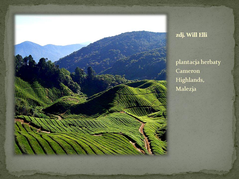 plantacja herbaty Cameron Highlands, Malezja