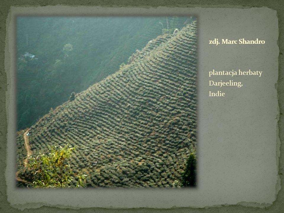 plantacja herbaty Darjeeling, Indie
