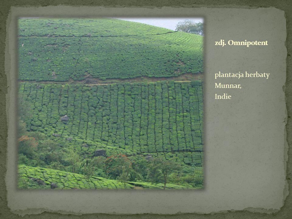 plantacja herbaty Munnar, Indie