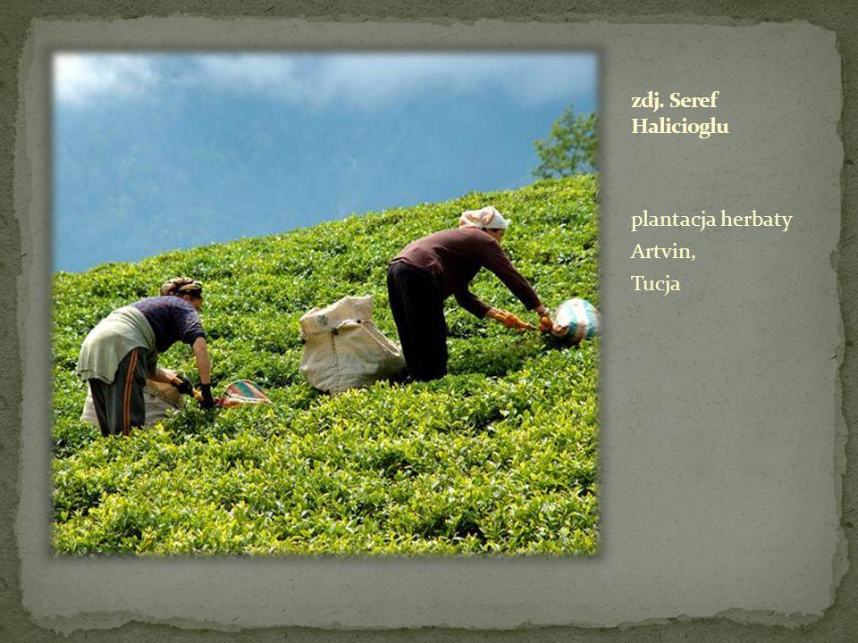 plantacja herbaty Artvin, Tucja