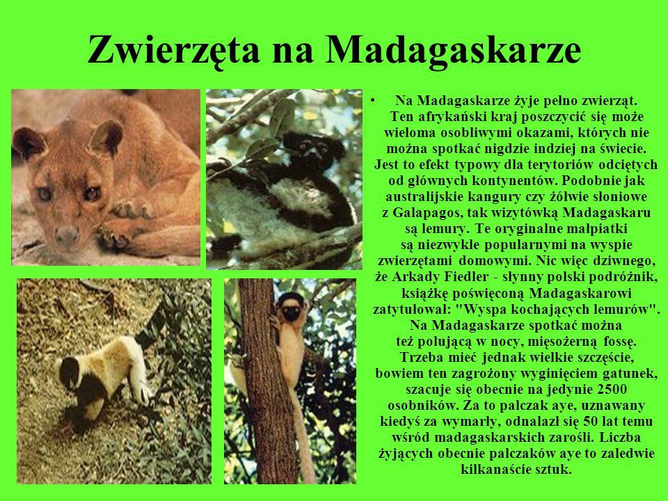 Zwierzęta na Madagaskarze Na Madagaskarze żyje pełno zwierząt. Ten afrykański kraj poszczycić się może wieloma osobliwymi okazami, których nie można s