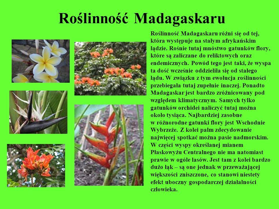 Roślinność Madagaskaru Roślinność Madagaskaru różni się od tej, która występuje na stałym afrykańskim lądzie. Rośnie tutaj mnóstwo gatunków flory, któ