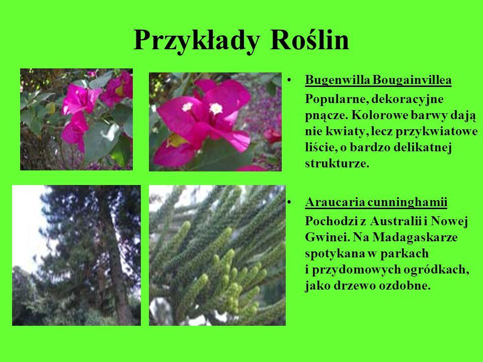Przykłady Roślin Bugenwilla Bougainvillea Popularne, dekoracyjne pnącze. Kolorowe barwy dają nie kwiaty, lecz przykwiatowe liście, o bardzo delikatnej