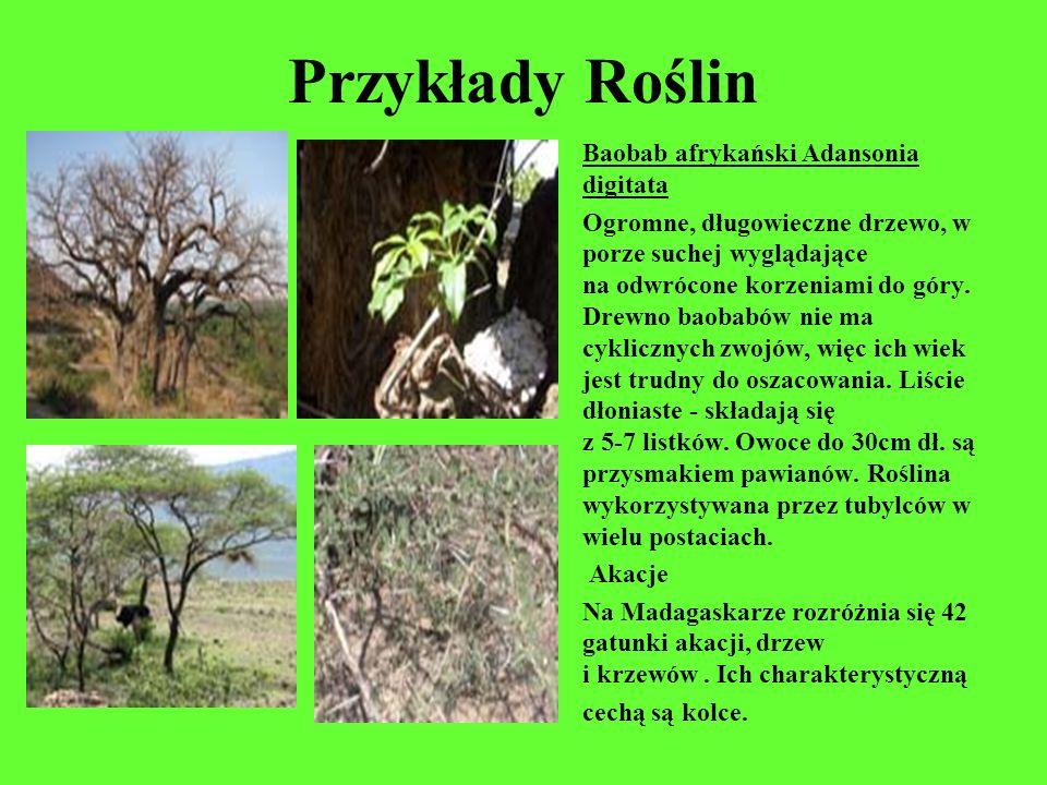 Przykłady Roślin Baobab afrykański Adansonia digitata Ogromne, długowieczne drzewo, w porze suchej wyglądające na odwrócone korzeniami do góry. Drewno