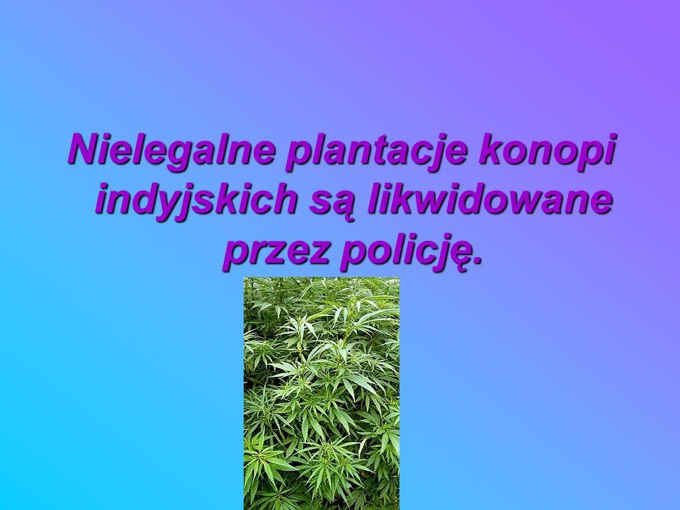 Nielegalne plantacje konopi indyjskich są likwidowane przez policję.