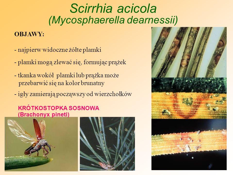 Scirrhia pini oraz Scirrhia acicola OBJAWY WSPÓLNE