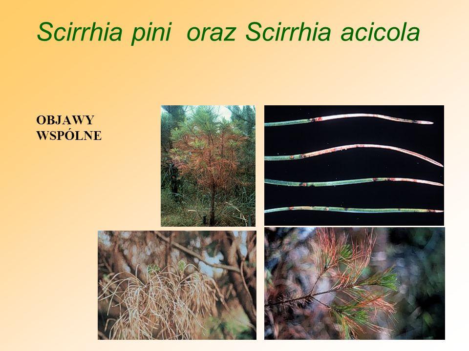 Mycosphaerella pini (Scirrhia pini) POBRANIE PRÓB -W przypadku podejrzenia pędy z igłami wykazującymi na objawy porażenia umieścić w polietylenowym worku z kawałkiem zwilżonego papierowego ręcznika lub bibuły -Worek zamknąć i bezzwłocznie dostarczyć do laboratorium