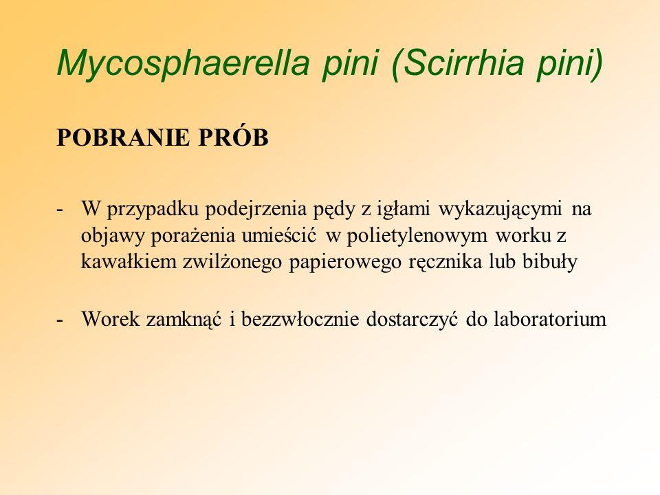 Mycosphaerella pini (Scirrhia pini) POSTĘPOWNIE W PRZYPADKU WYKRYCIA CHOROBY - Zakaz wprowadzania do obrotu roślin z gatunku Pinus przez jeden pełny cykl wegetacyjny (uzupełnienie wymogów specjalnych - odstąpienie od wydawania paszportów) -Usunięcie i zniszczenie porażonych roślin poprzez spalenie -Prowadzenie w szkółce (w miejscu produkcji ) i jego bezpośrednim sąsiedztwie na roślinach żywicielskich lustracji pod kątem występowania grzyba Mycosphaerella pini (Scirrhia pini)