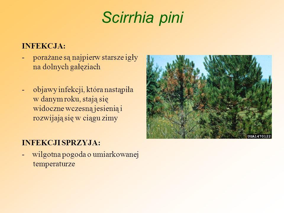 Scirrhia pini OBJAWY: -najpierw widoczne żółte plamki -plamki przekształcają się w prążki, które opasują igłę -prążki często przybierają charakterystyczne czerwonawe zabarwienie -igły zamierają począwszy od wierzchołków