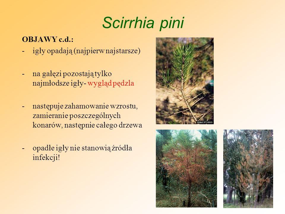 Scirrhia pini BIOLOGIA: -na drzewach pozostają porażone1-2 letnie igły i to one są głównym źródłem infekcji wiosna i latem roku następnego -igły zamierają począwszy od wierzchołków -na obumarłej części igieł i w obrębie prążków pod epidermą tworzą się owocniki (acerwulusy)