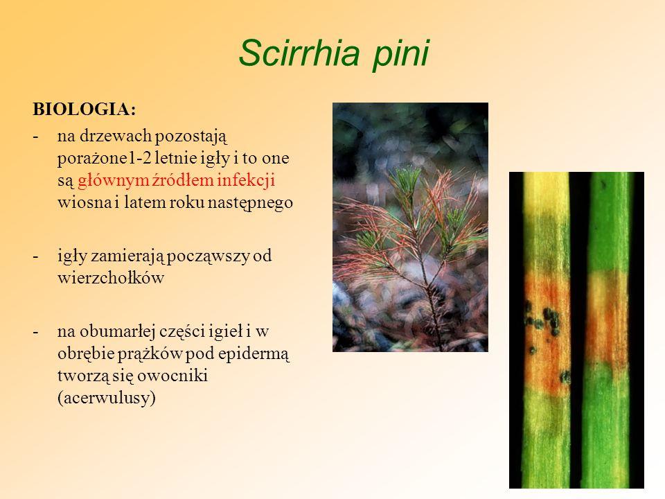 Scirrhia pini BIOLOGIA c.d.: -po pęknięciu epidermy wydostaje się bezbarwna lub brunatna masa zarodników konidialnych -zarodniki konidialne roznoszone są wraz z bryzgami deszczu