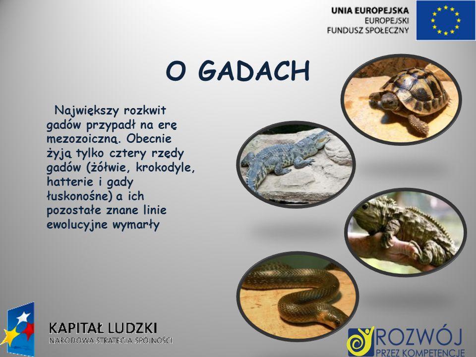 O GADACH Największy rozkwit gadów przypadł na erę mezozoiczną. Obecnie żyją tylko cztery rzędy gadów (żółwie, krokodyle, hatterie i gady łuskonośne) a