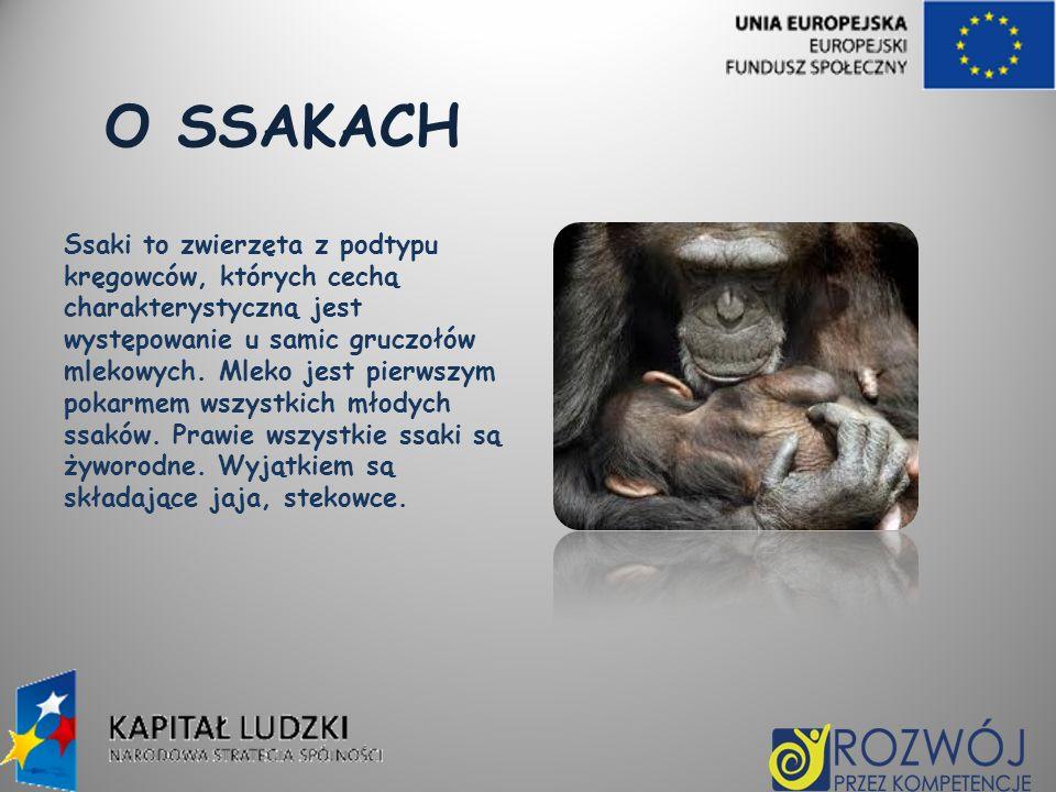 O SSAKACH Ssaki to zwierzęta z podtypu kręgowców, których cechą charakterystyczną jest występowanie u samic gruczołów mlekowych. Mleko jest pierwszym