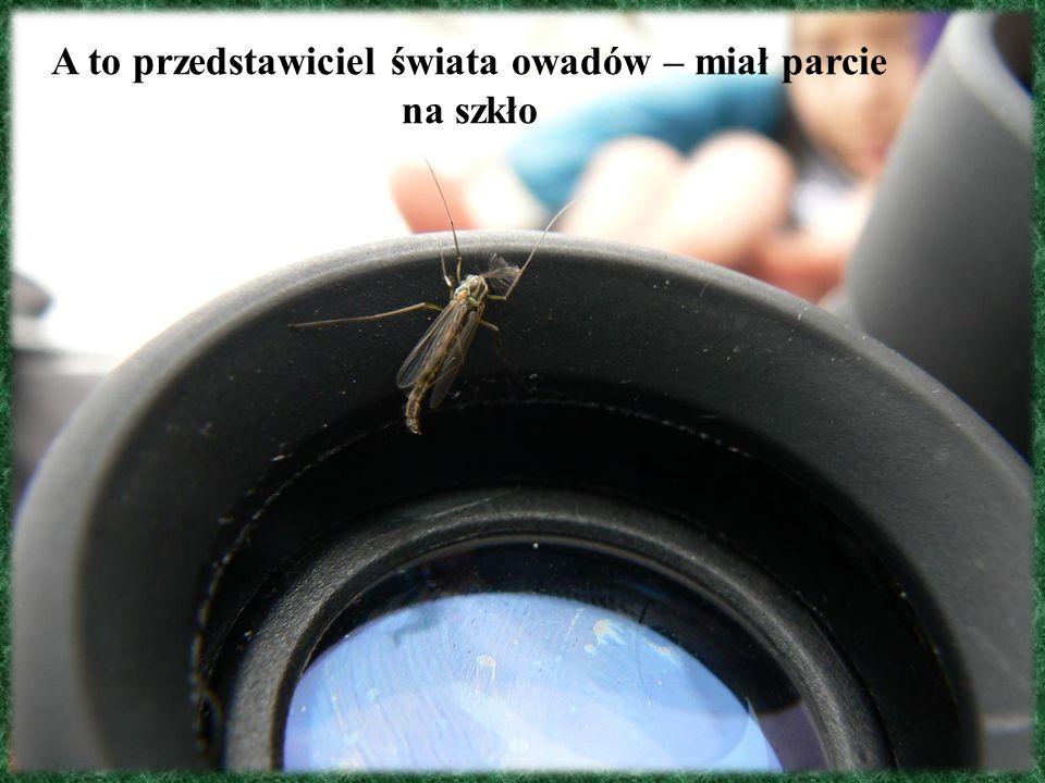 A to przedstawiciel świata owadów – miał parcie na szkło