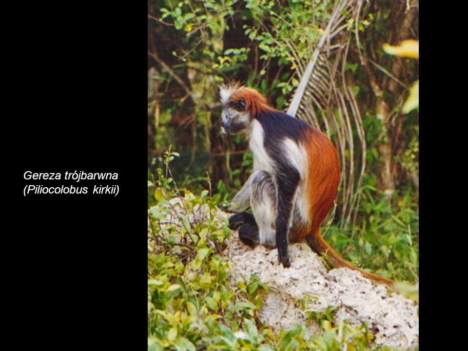 Zanzibar Red Colobus (Piliocolobus kirkii)