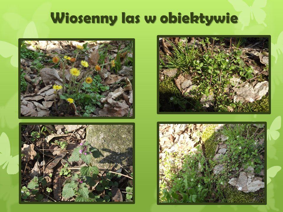 Wiosenny las w obiektywie