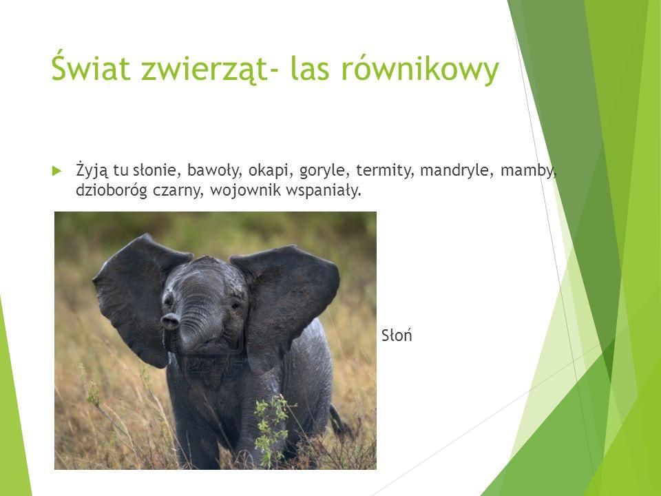 Świat zwierząt- las równikowy Żyją tu słonie, bawoły, okapi, goryle, termity, mandryle, mamby, dzioboróg czarny, wojownik wspaniały. Słoń