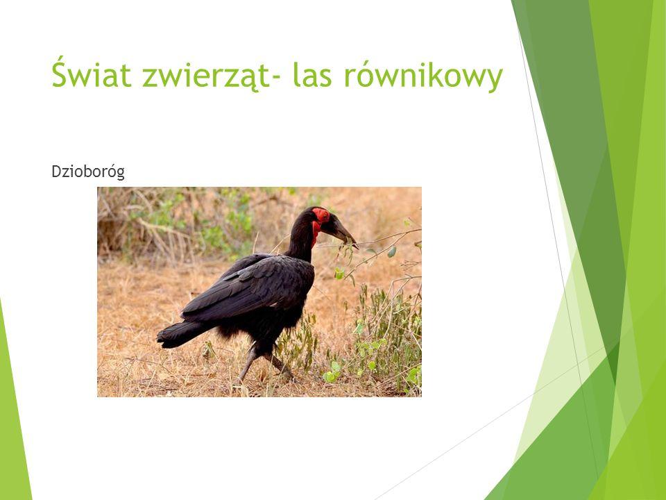 Świat zwierząt- las równikowy Dzioboróg