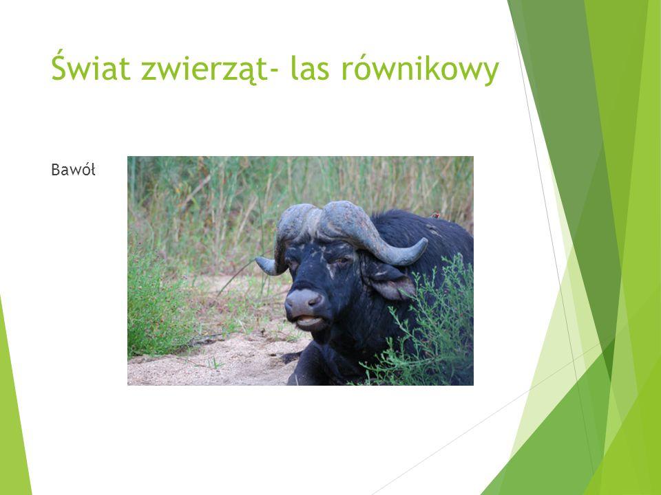 Świat zwierząt- las równikowy Bawół