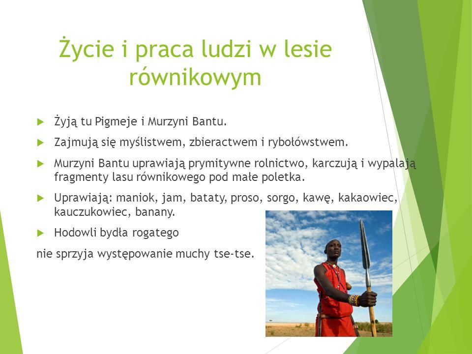 Życie i praca ludzi w lesie równikowym Żyją tu Pigmeje i Murzyni Bantu. Zajmują się myślistwem, zbieractwem i rybołówstwem. Murzyni Bantu uprawiają pr