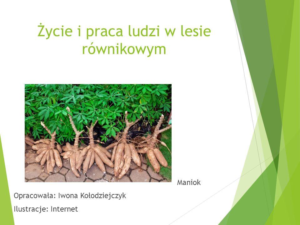 Życie i praca ludzi w lesie równikowym Maniok Opracowała: Iwona Kołodziejczyk Ilustracje: Internet