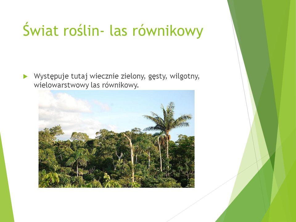 Świat roślin- las równikowy Występuje tutaj wiecznie zielony, gęsty, wilgotny, wielowarstwowy las równikowy.