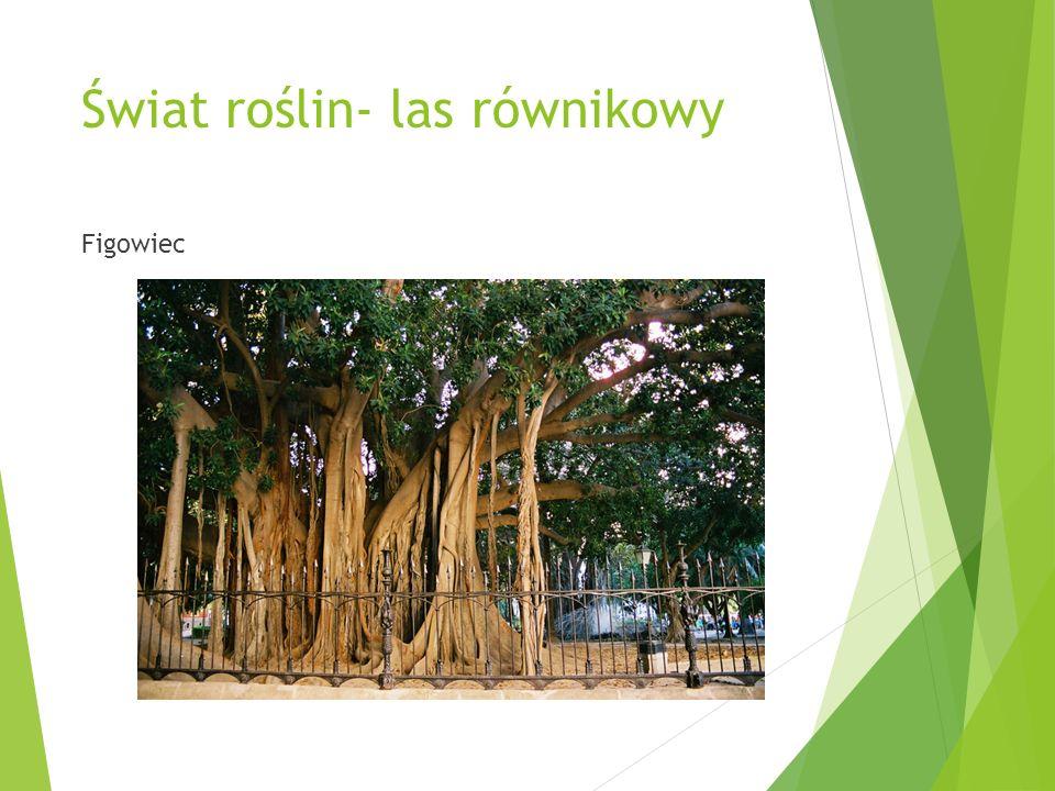 Świat roślin- las równikowy Figowiec