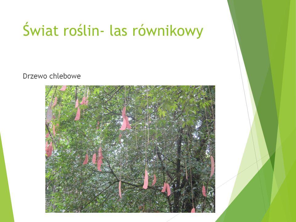 Świat roślin- las równikowy Drzewo chlebowe