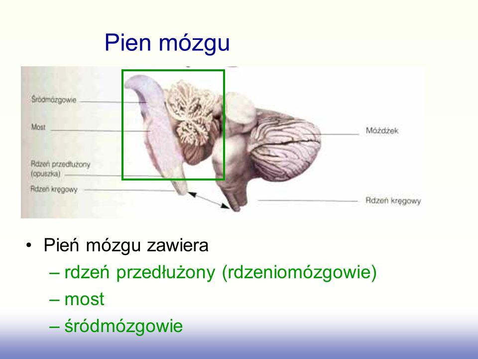 Pień mózgu zawiera –rdzeń przedłużony (rdzeniomózgowie) –most –śródmózgowie Pien mózgu