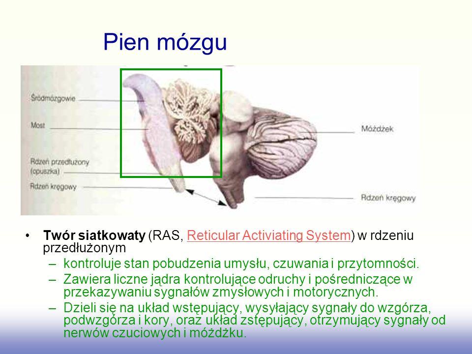 Twór siatkowaty (RAS, Reticular Activiating System) w rdzeniu przedłużonymReticular Activiating System –kontroluje stan pobudzenia umysłu, czuwania i