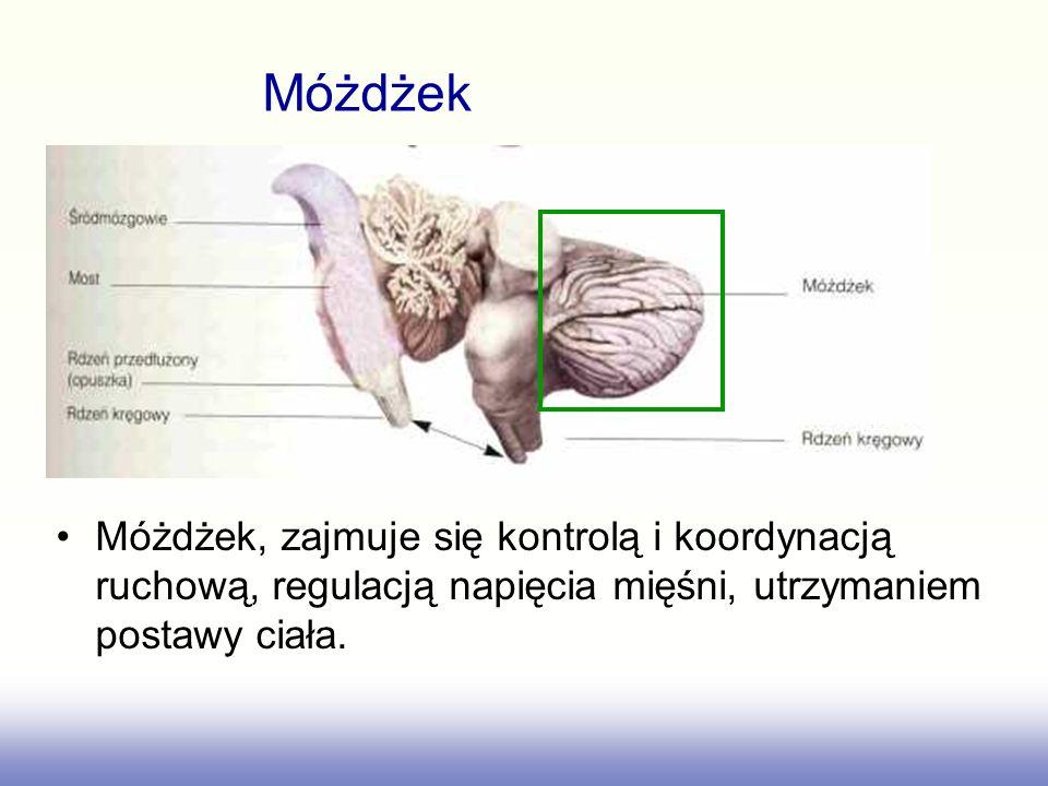 Móżdżek, zajmuje się kontrolą i koordynacją ruchową, regulacją napięcia mięśni, utrzymaniem postawy ciała. Móżdżek