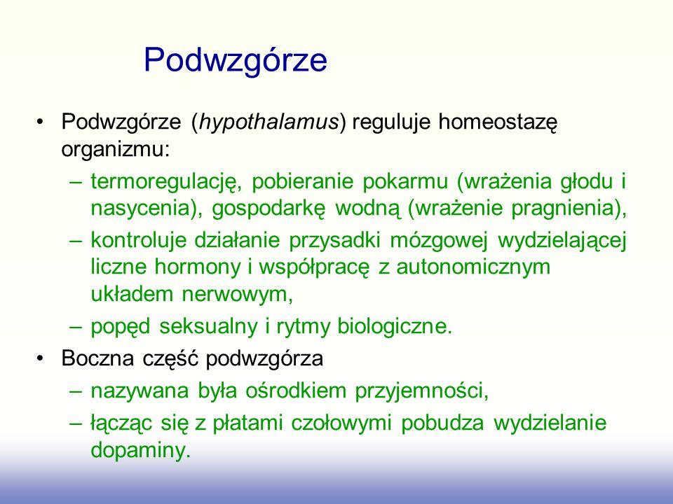 Podwzgórze (hypothalamus) reguluje homeostazę organizmu: –termoregulację, pobieranie pokarmu (wrażenia głodu i nasycenia), gospodarkę wodną (wrażenie