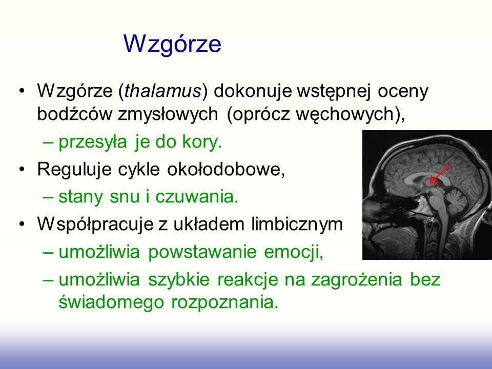 Wzgórze (thalamus) dokonuje wstępnej oceny bodźców zmysłowych (oprócz węchowych), –przesyła je do kory. Reguluje cykle okołodobowe, –stany snu i czuwa