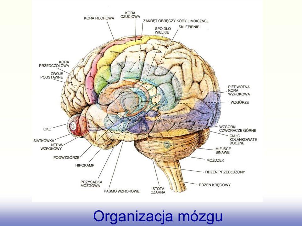 Organizacja mózgu