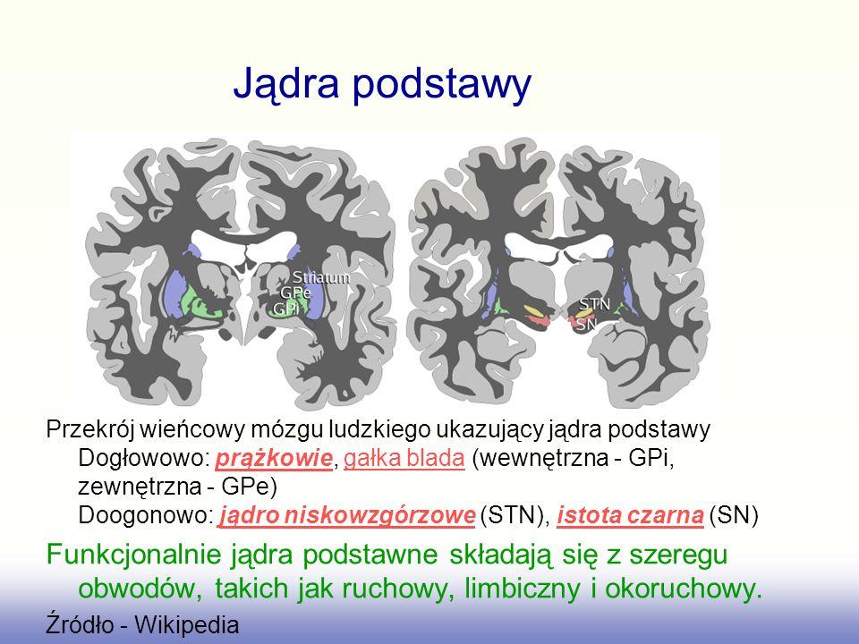 Jądra podstawy Przekrój wieńcowy mózgu ludzkiego ukazujący jądra podstawy Dogłowowo: prążkowie, gałka blada (wewnętrzna - GPi, zewnętrzna - GPe) Doogo