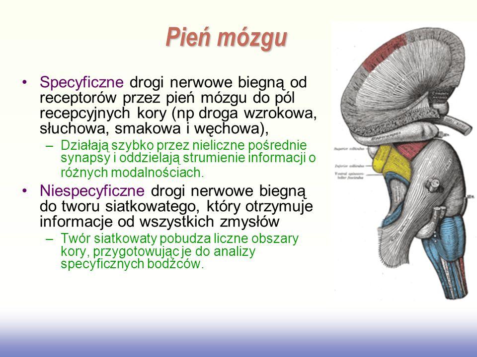 Specyficzne drogi nerwowe biegną od receptorów przez pień mózgu do pól recepcyjnych kory (np droga wzrokowa, słuchowa, smakowa i węchowa), –Działają s