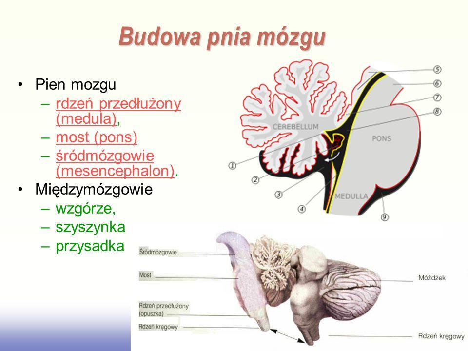 Pien mozgu –rdzeń przedłużony (medula),rdzeń przedłużony (medula) –most (pons)most (pons) –śródmózgowie (mesencephalon).śródmózgowie (mesencephalon) M