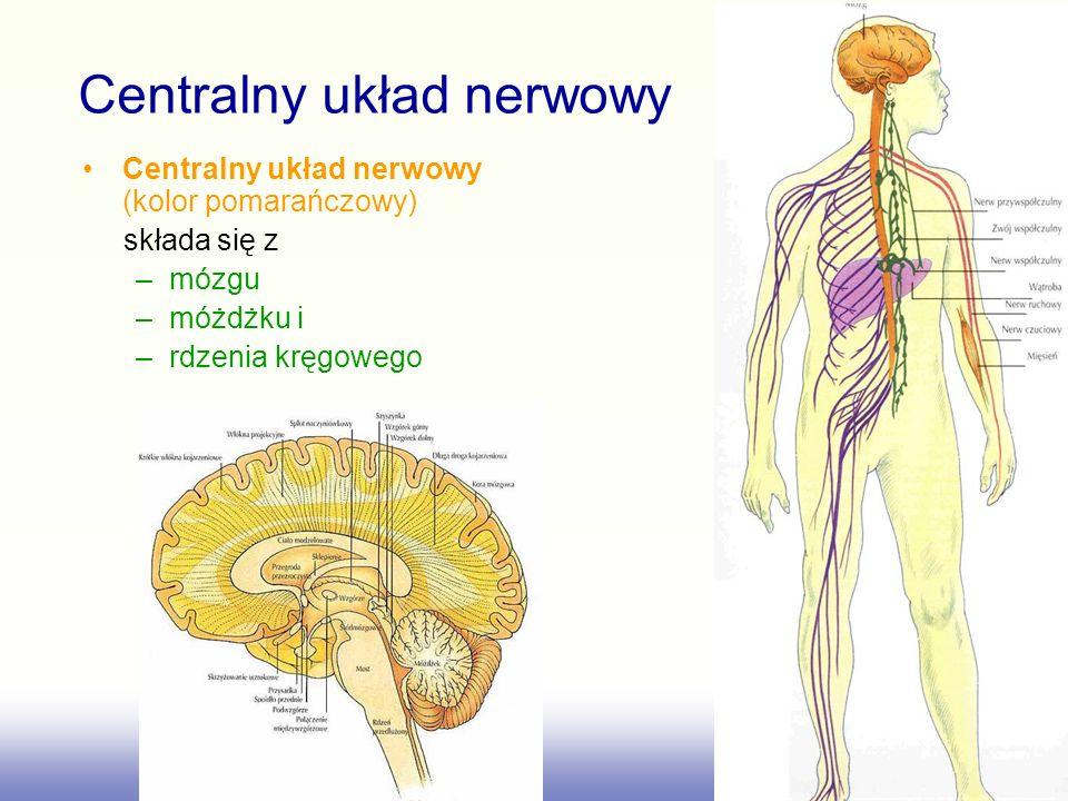 Centralny układ nerwowy (kolor pomarańczowy) składa się z –mózgu –móżdżku i –rdzenia kręgowego Centralny układ nerwowy