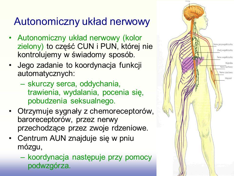 Autonomiczny układ nerwowy (kolor zielony) to część CUN i PUN, której nie kontrolujemy w świadomy sposób. Jego zadanie to koordynacja funkcji automaty