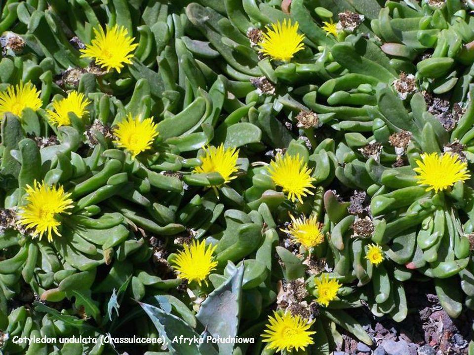 Melocactus matanzanus (Kuba )