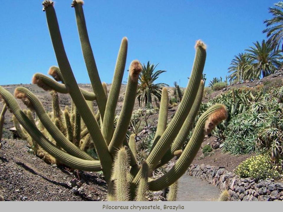 Cotyledon undulata (Crassulaceae), Afryka Południowa
