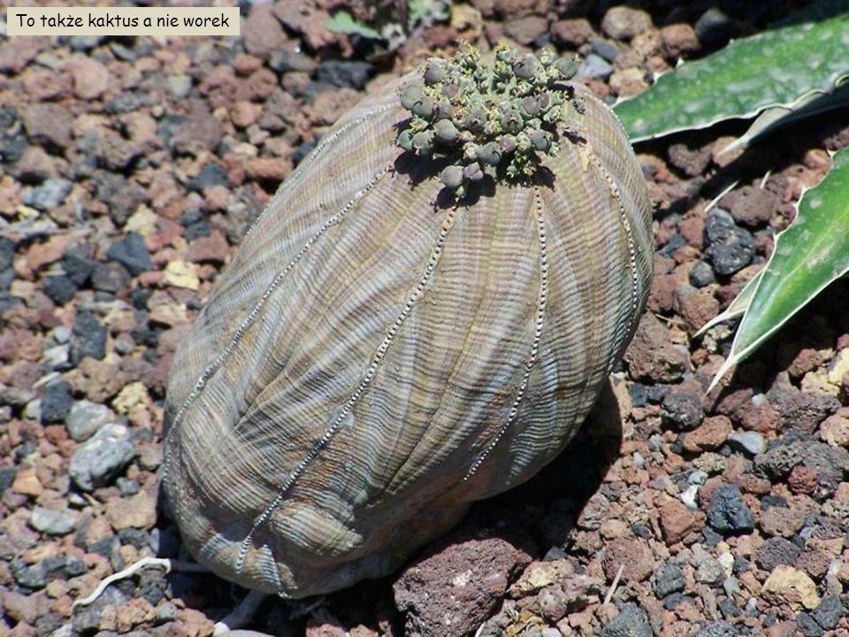 Wysokie kaktusy Echinopsis atacamensis, Argentyna, Boliwia