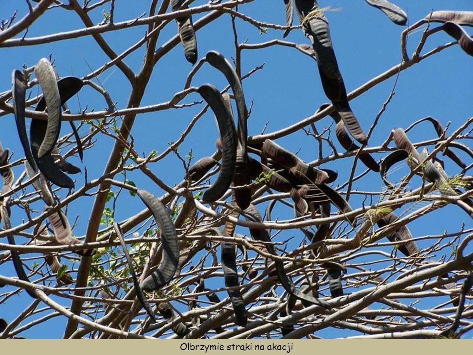Sukulenty oraz akacje z wielkimi strąkami