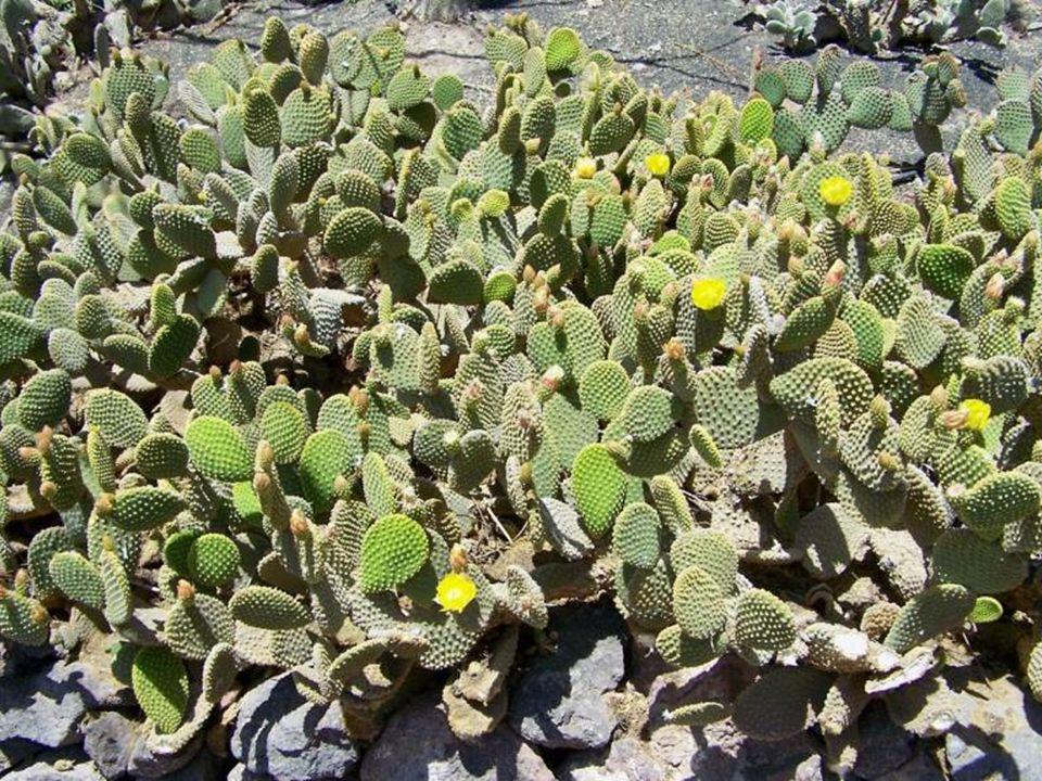 Kokerboom, drzewo kołczanowe (Aloe dichotoma Masson) – jeden z najwyższych gatunków aloesu należący do rodziny aloesowatych.