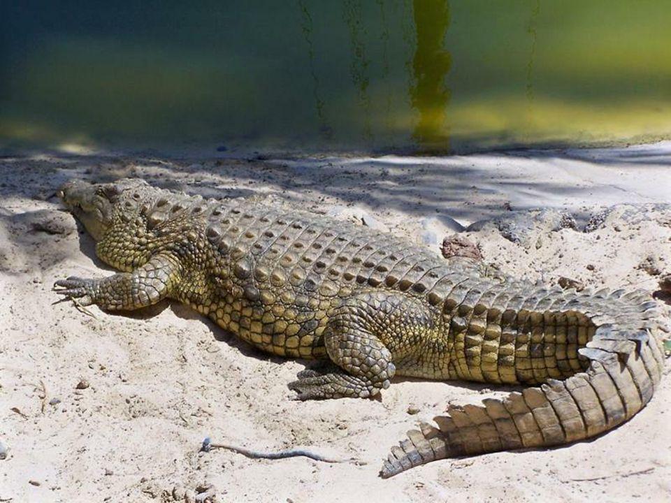 Okazały krokodyl (w części botanicznej parku )