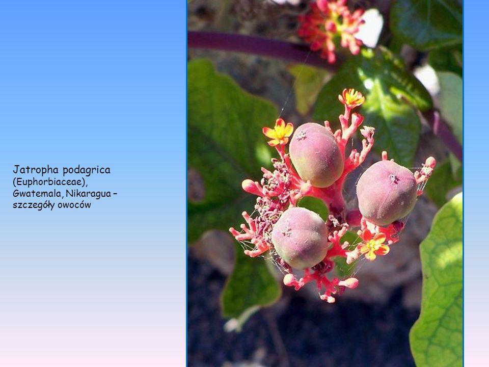 Jatropha podagrica (Euphorbiaceae), sukulent Gwatemala, Nikaragua – cała roślina