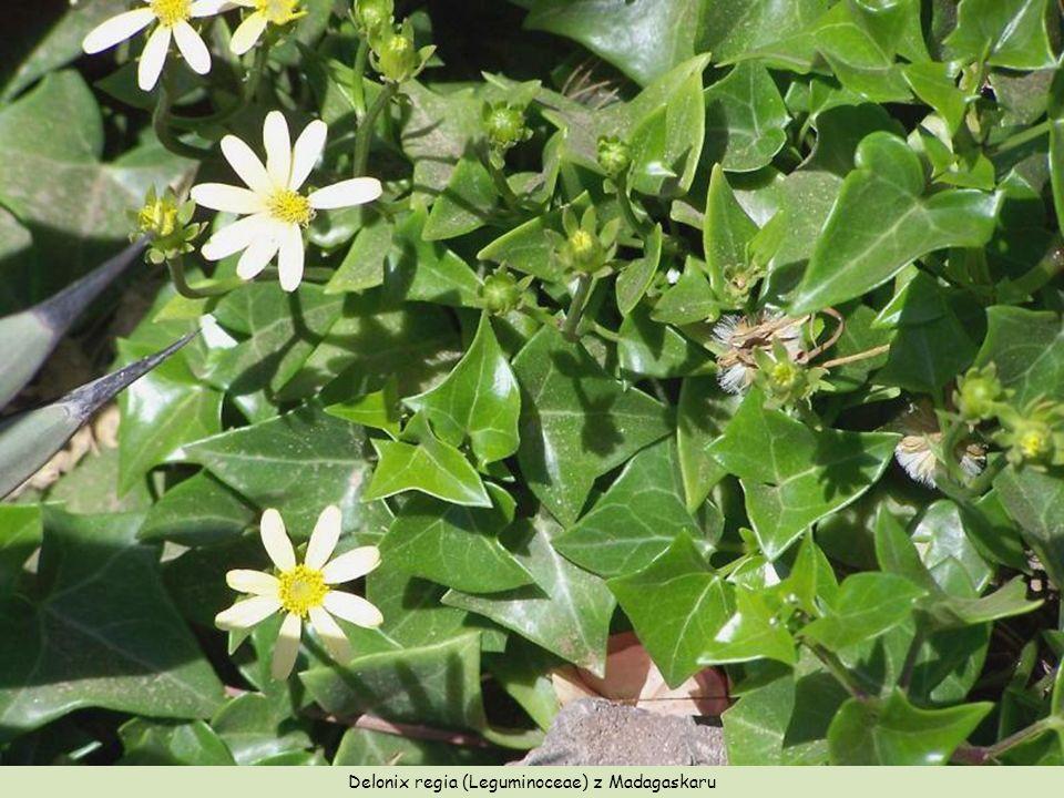 Jatropha podagrica (Euphorbiaceae), Gwatemala, Nikaragua – szczegóły owoców