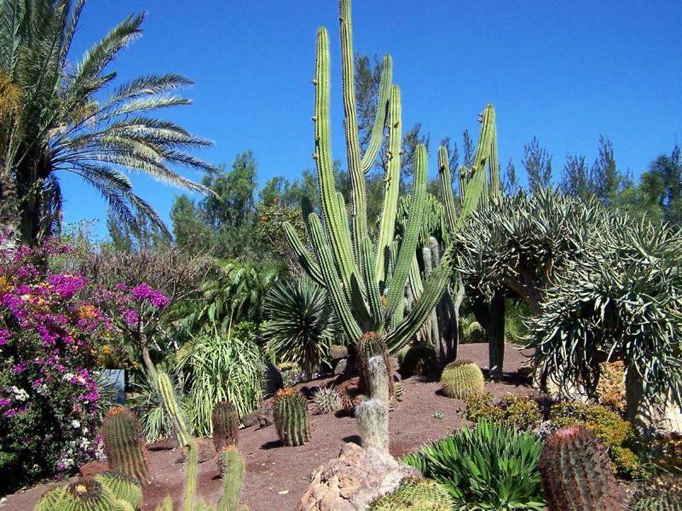 Euphorbia ingens, Afryka Południowa